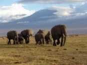 safari_elephants